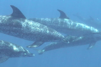Dolphins are seen and dived with often.  Dive Hatteras photo